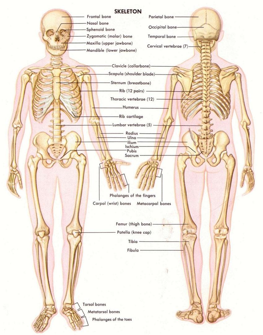 skeleton-3