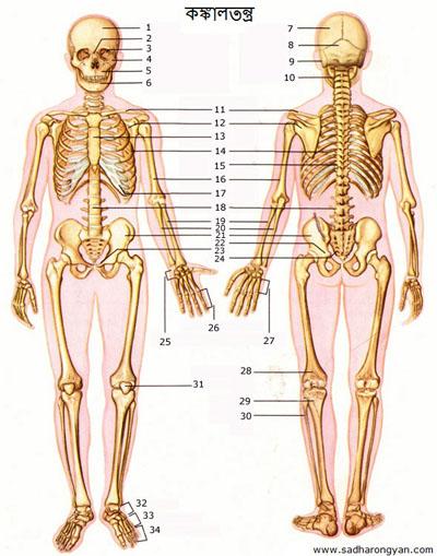 skeleton-3a