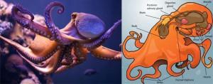 General Octopus
